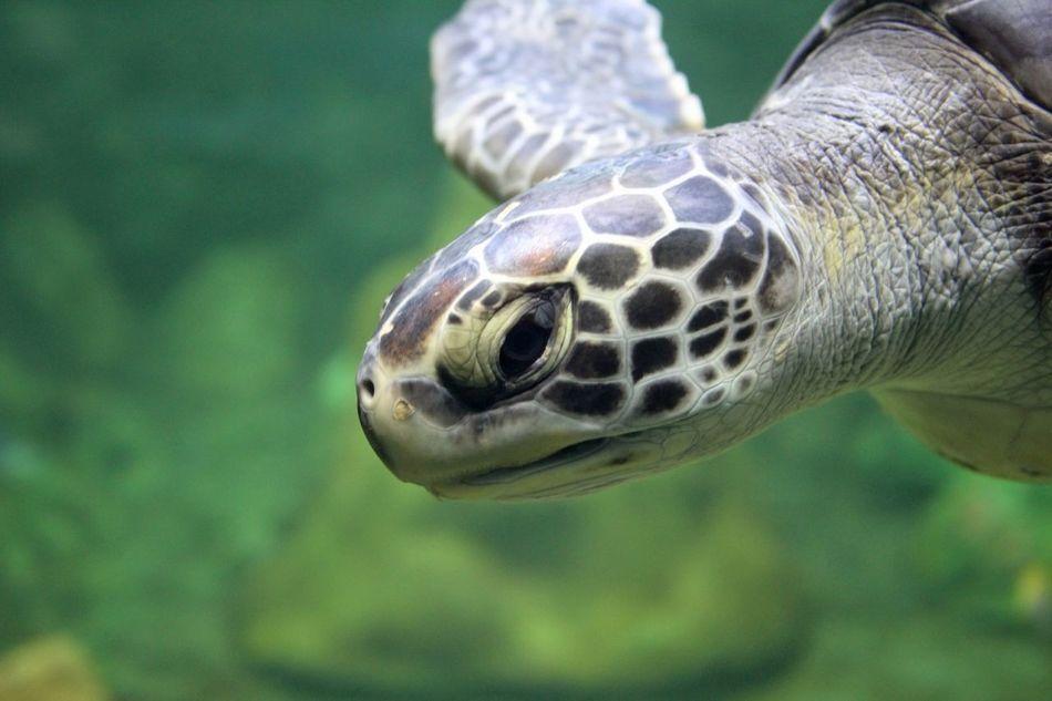 Beautiful stock photos of turtle, Animal Head, Animal Themes, Close-Up, Fish