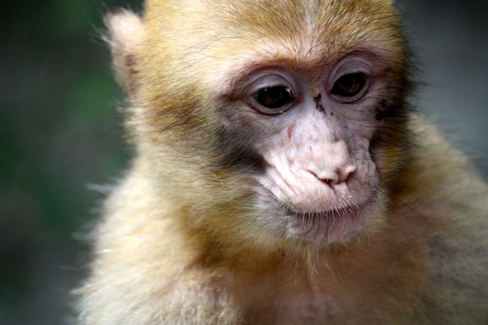 Beautiful stock photos of monkey, Animal Head, Animal Themes, Animals In The Wild, Close-Up