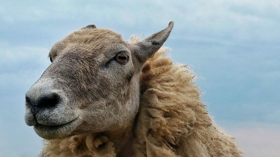 Beautiful stock photos of sheep, Animal Body Part, Animal Mouth, Animal Themes, Close-Up