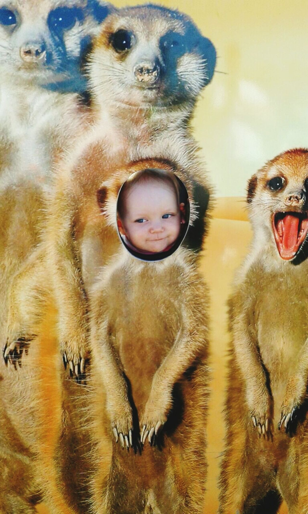 Chillin with her buddies Close-up Animal Themes Portrait Mammal Outdoors Nature Day Farm Folly Meerkat Little Little Girl Sweet Cute♡ Babygirl Playing One Girl Only Cheerful One Person Headshot Children Only Baby Front View Smiling Childhood