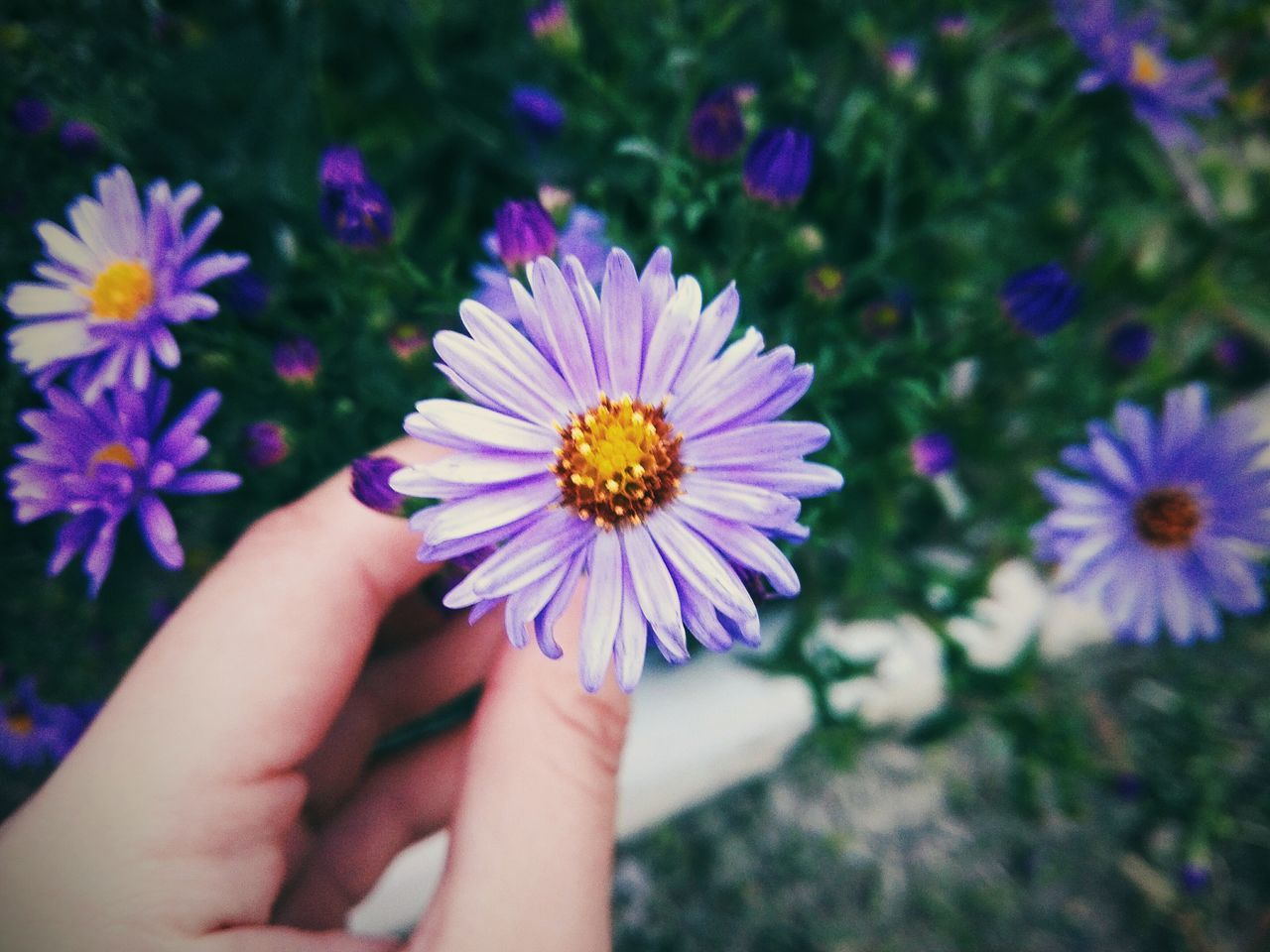 flower, human hand, human body part, fragility, beauty in nature, real people, nature, petal, flower head, freshness, growth, outdoors, one person, day, lifestyles, close-up, plant, multi colored, people