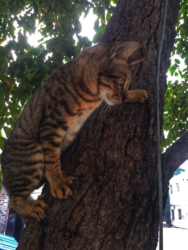 Domestic Cat Animal Themes Mammal Tree Feline One Animal No People Carnivora Day Pets Domestic Animals Nature Outdoors 一只内心是老虎的小猫