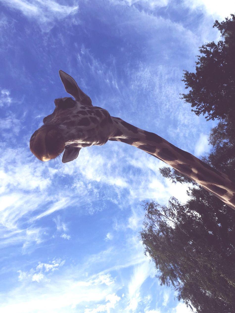 Sky Blue Giraffe♥ Beautiful Nature