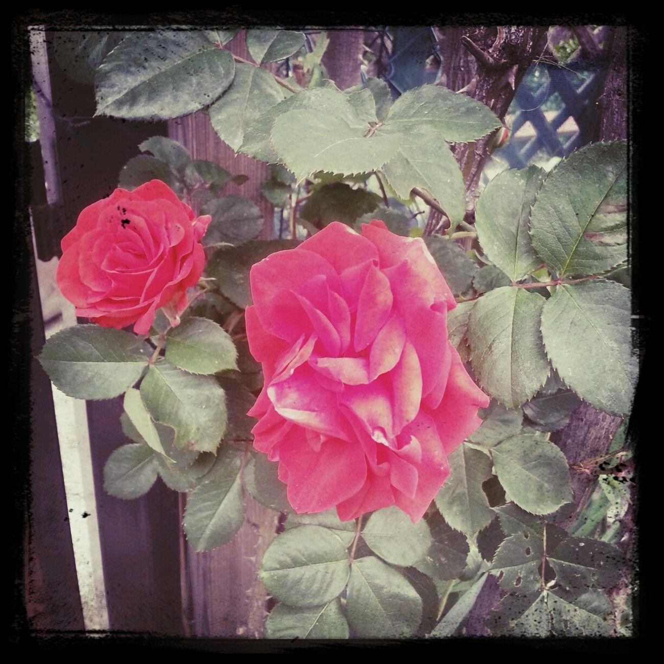 Festadellamamma Red Rose Flowers,Plants & Garden