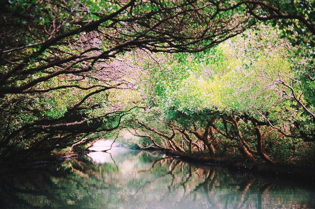 臺南記憶。 Tainan Taiwan Mangrove Tree The View And The Spirit Of Taiwan 台灣景 台灣情 EyeEm Best Shots EyeEm Best Edits EyeEm Nature Lover EyeEm Taiwan No People Plant 臺南 四草 綠色隧道