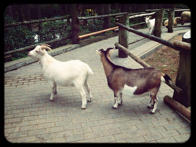 sheepsLining Up Lovely Love ♥ Sheep