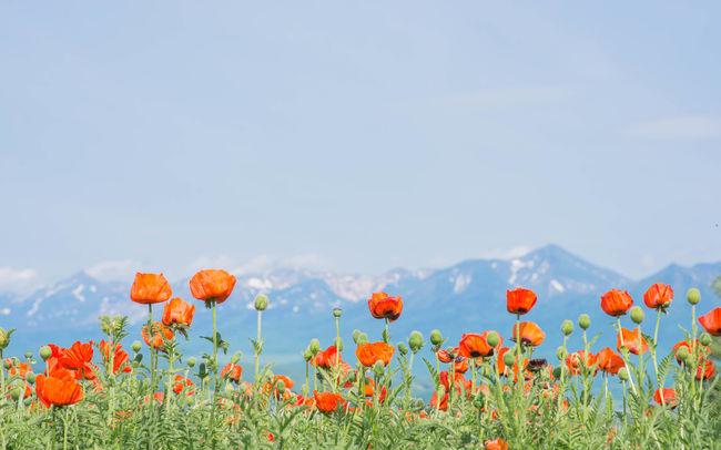 Beauty In Nature Bier Flower Flower Head Flowers Growth Hokkaido,Japan In Bloom Landscape Mountain Multi Colored Nature Orange Color Petal Plant Poppy Sky Spring Springtime 富良野