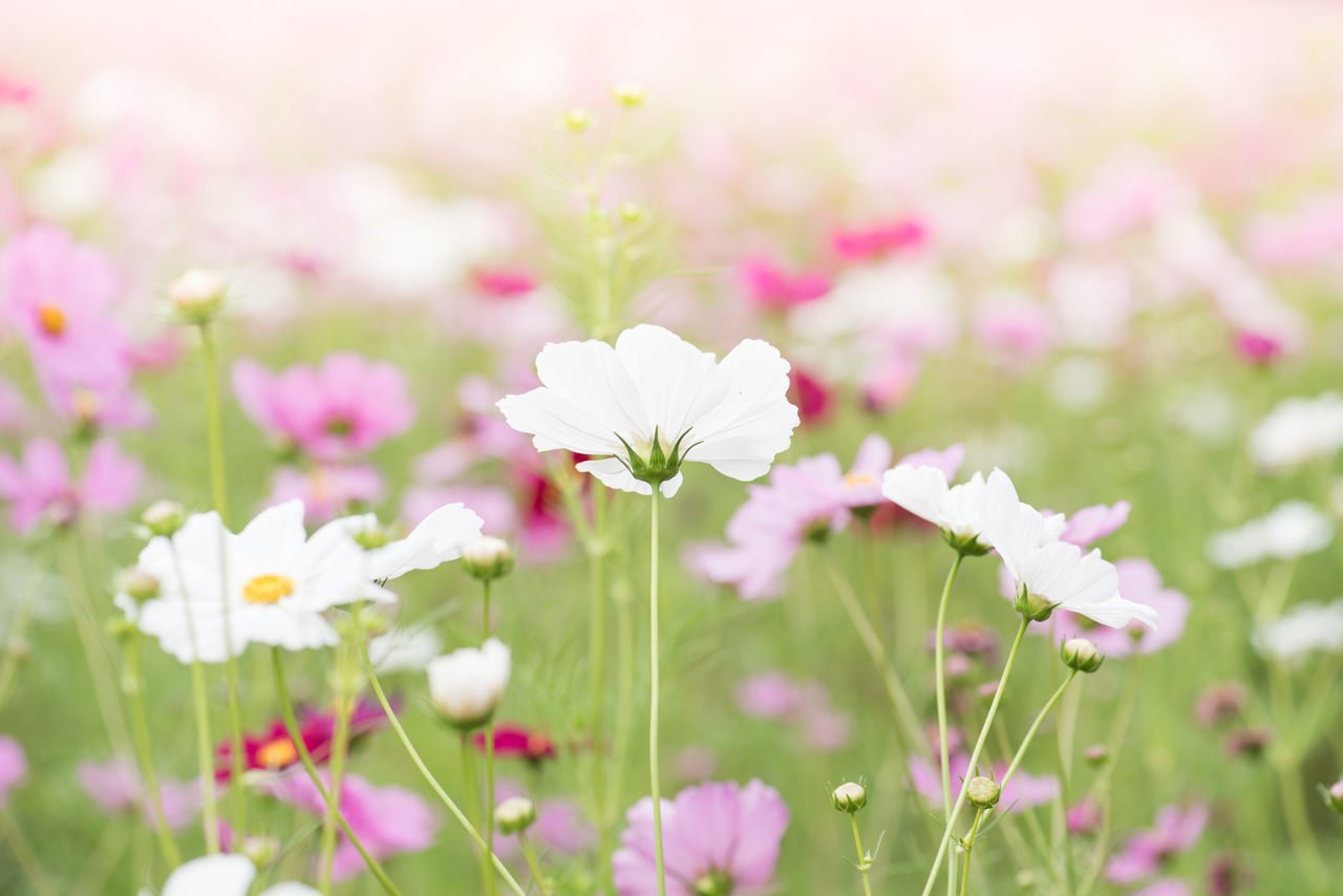Close-Up Of Cosmos Flowers Blooming Outdoors