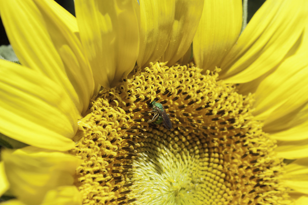 Sunflower with green bee Animal Themes Animal Wildlife Animals In The Wild Beauty In Nature Bee Blooming Close-up Day Flower Flower Head Fragility Freshness Growth Insect Nature No People One Animal Outdoors Petal Plant Pollen Pollination Symbiotic Relationship Wildlife Yellow