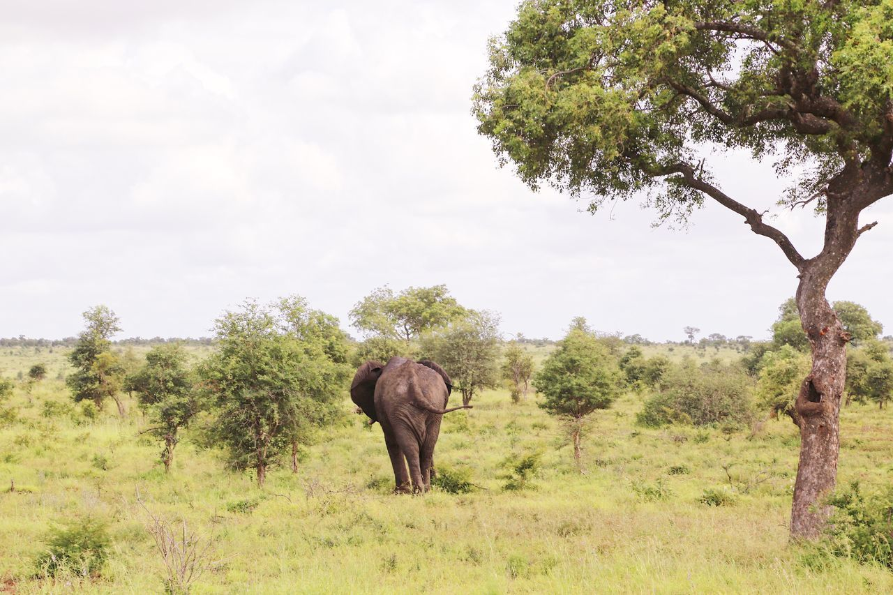 elephant, animals in the wild, tree, safari animals, nature, mammal, trunk, grass, tusk, animal wildlife, day, animal themes, landscape, african elephant, outdoors, one animal, no people, sky, beauty in nature, animal trunk, forest, adventure, elephant calf
