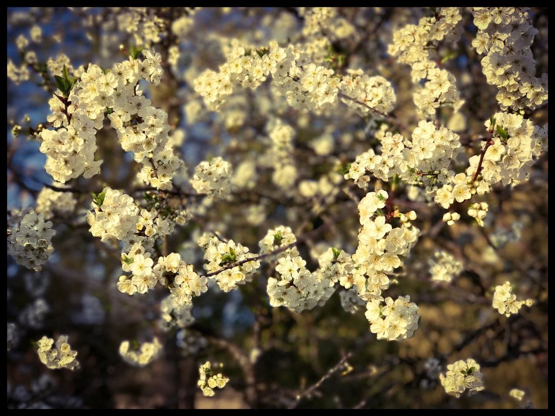 Flowers Flower Blossom Nature Growth In Bloom Springtime Tree Branch Outdoors Day No People France Fere En Tardenois Garden