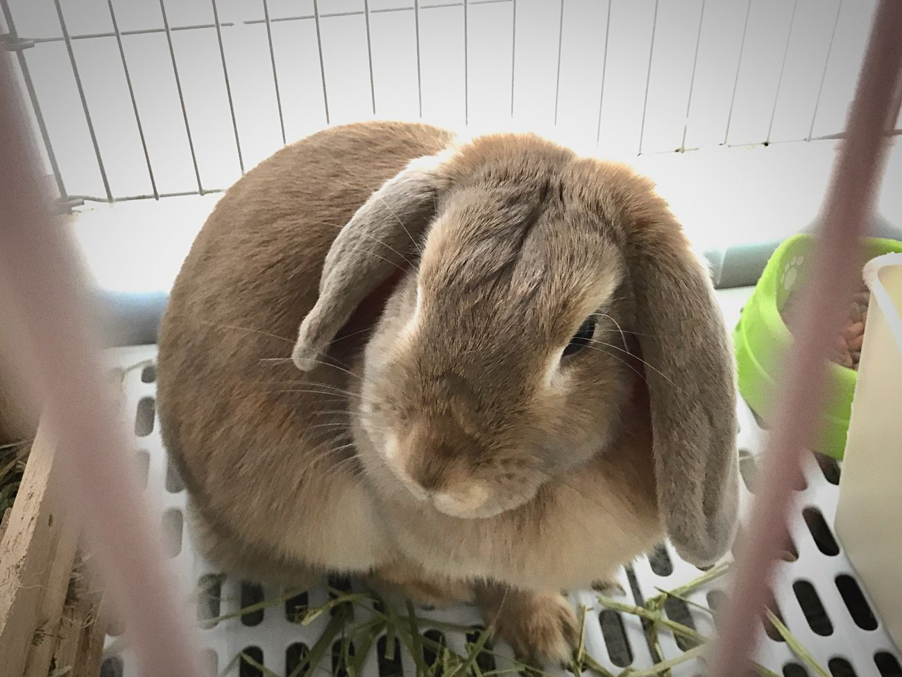 u r exactly cute and lovely <3 Hollandlop Rabbit Animal Themes Iphonephotography May2017 Fukuoka,Japan