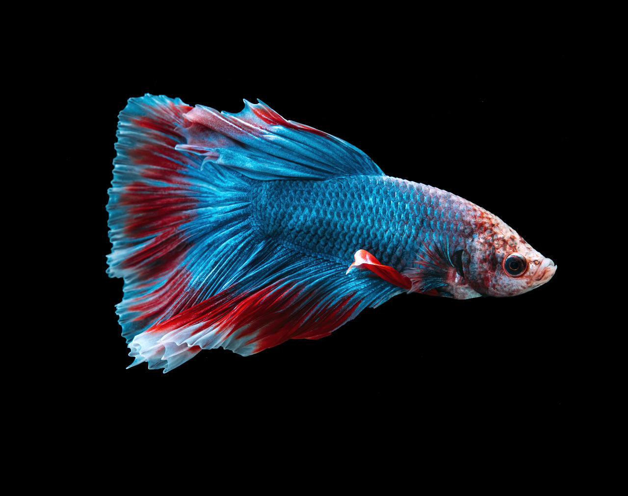 Animal Animal Themes Animals In Captivity Aquarium Betta Fish Black Background Close-up Copy Space Fighter Full Length Male Animal No People One Animal Pets Studio Shot Swimming Water