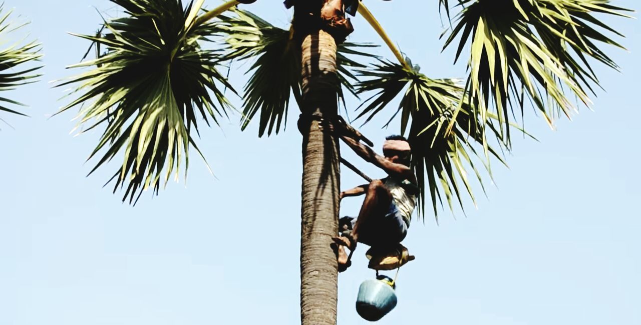 Palm tree climbers - for Toddy collection Hi! Hello World Taking Photos Check This Out EyeEm4photogtaphy Eye4photography  Eyeemphotography Eyem Gallery Toddy Palm Tree Indian Palm Climbers Climberslife Tree Climbing ✌ Toddy Collector Palmyra Palm Palm Trees ❤❤ Kick Palm Liquor Palm Juice Danger