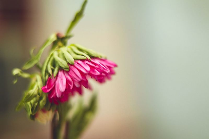 broken neck still standing Broken Neck But Stilll Standing Flower Plant Nature Fragility No People Beauty In Nature Close-up Pink Color Flower Head Green Color Outdoors Growth Freshness Uncultivated Day