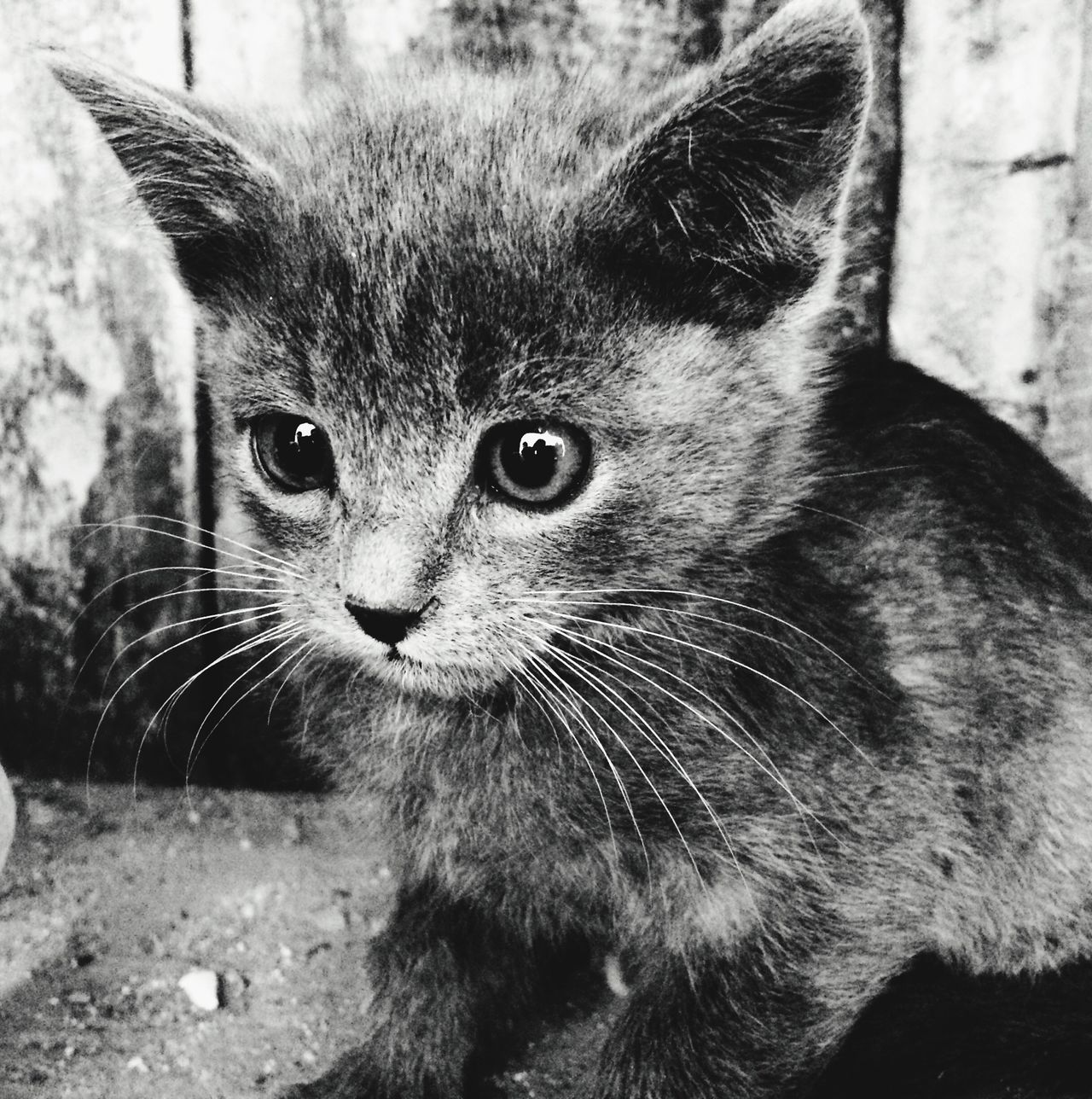 Beautiful stock photos of kitty, Alertness, Animal Eye, Animal Themes, Close-Up