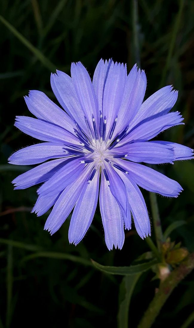 Color Palette Colour Of Life Chicory Flower Chicorei Chicory True Blue