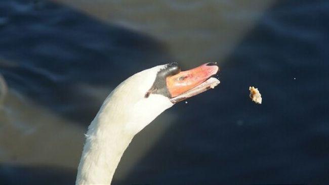 Water Fowl Birds Animals Taking Photos White Rock Lake Dallas Tx Nature Wildlife Photos Wildlife & Nature Swans