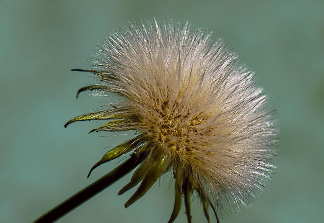 Beauty In Nature Bloem Blooming Dandelion Flower Flower Head Focus On Foreground Fragility Freshness Growth HDR Macro Nature No People Petal Pferdeblume Plant Pusteblume Selective Focus Softness
