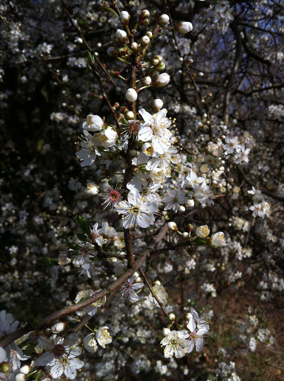Blossom Close-up Day No People Prunus Sp. Springtime Tree Wild Cherry