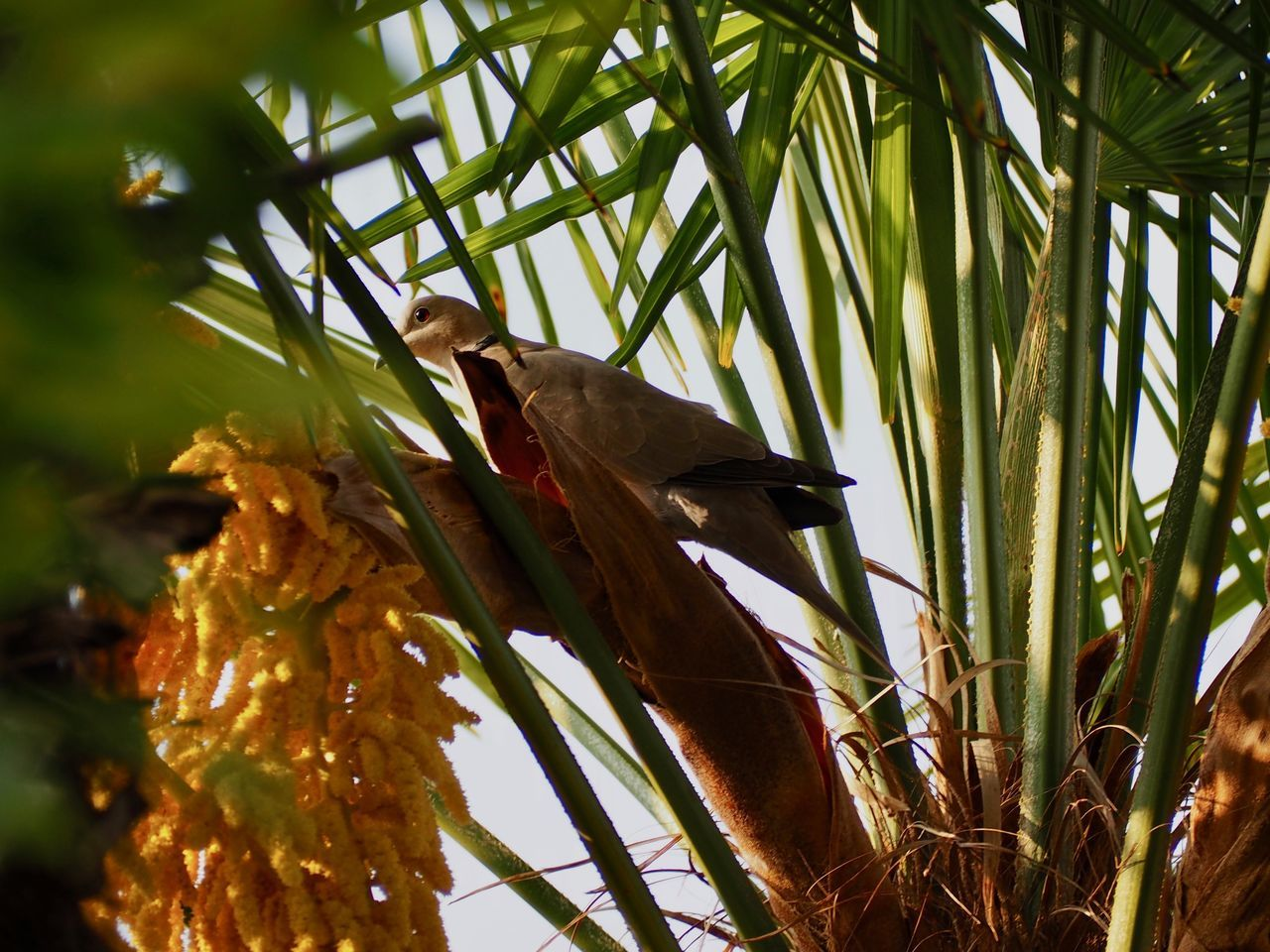Morning dove perched on a palm tree in spring Animal Themes Animal Wildlife Animals In The Wild Beauty In Nature Bird Branch Close-up Day Dove Green Color Growth Leaf Low Angle View Nature No People One Animal Outdoors Parrot Perching Spring Tree