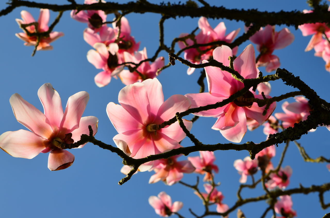 Beautiful stock photos of magnolia, Beauty In Nature, Botany, Branch, Clear Sky