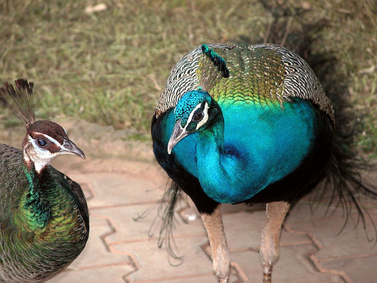 High Angle View Of Peacocks In Park