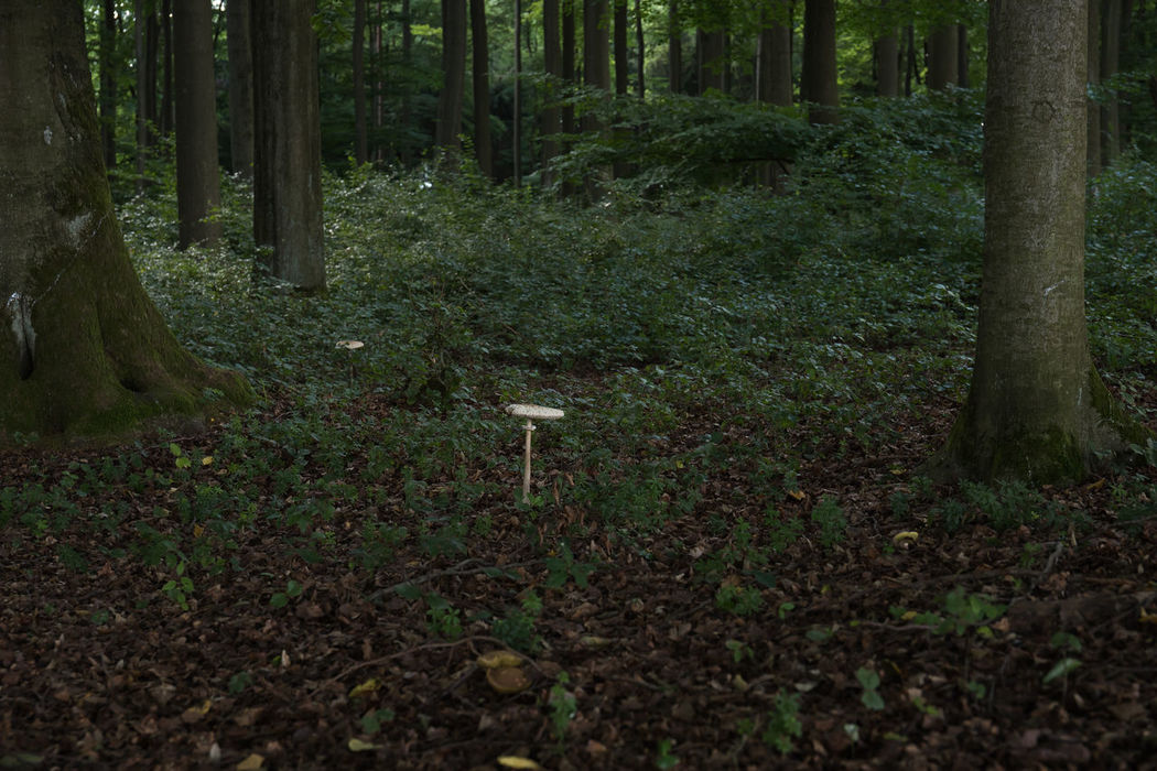 A parasol mushroom, Macrolepiota procera, in the forest. Low Key Macrolepiota Procera Beauty In Nature Day Forest Growth Landscape Mushroom Nature No People Nusshain 08 17 Outdoors Parasol Parasol Mushrooms Thick Tranquil Scene Tranquility Tree Tree Trunk Wilderness WoodLand