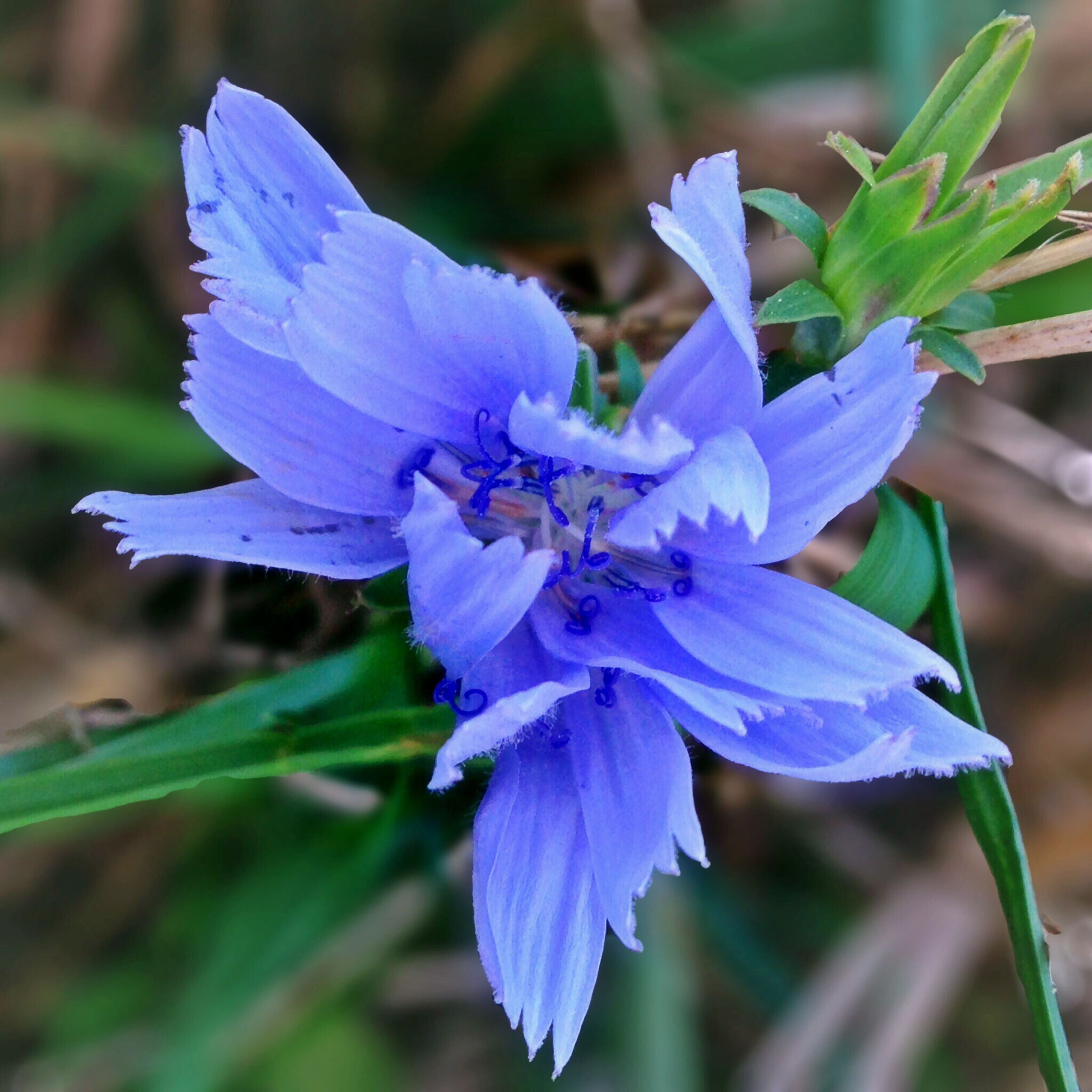 flower, purple, freshness, petal, fragility, flower head, close-up, growth, focus on foreground, blue, beauty in nature, blooming, nature, single flower, plant, in bloom, pollen, stamen, blossom, day