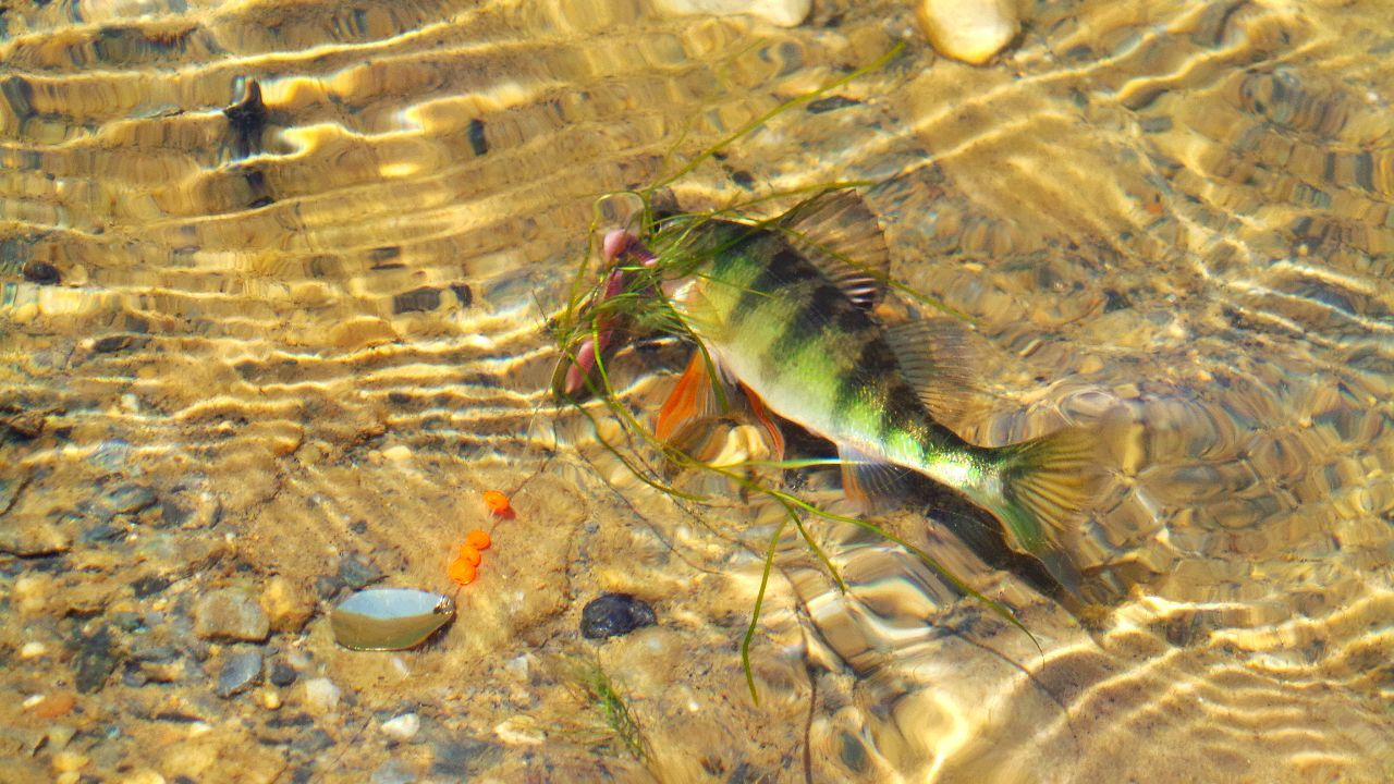 Perch Fish On! Fish On The Go Fish On Lake Fishing Fish Fins Water_collection Check This Out Nature_collection Landscape_collection EyeEmNatureLover Waterscape Photography Waterscape Waterscapes Water Scene Water Scape Natureshiddenbeauty Nature_collection Naturelovers Frombehindthelenz Landscape_Collection Nature Photography From Where I Stand Check This Out In The Lake Enjoying Life Angeln