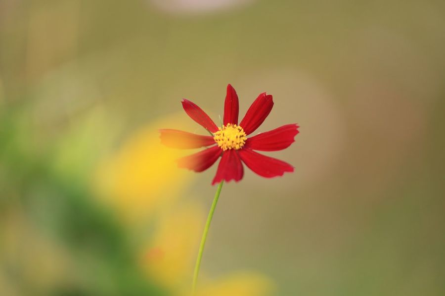 Flower Petal Fragility Nature Beauty In Nature Flower Head Growth Freshness Blooming Outdoors Close-up Plant Day No People Zinnia