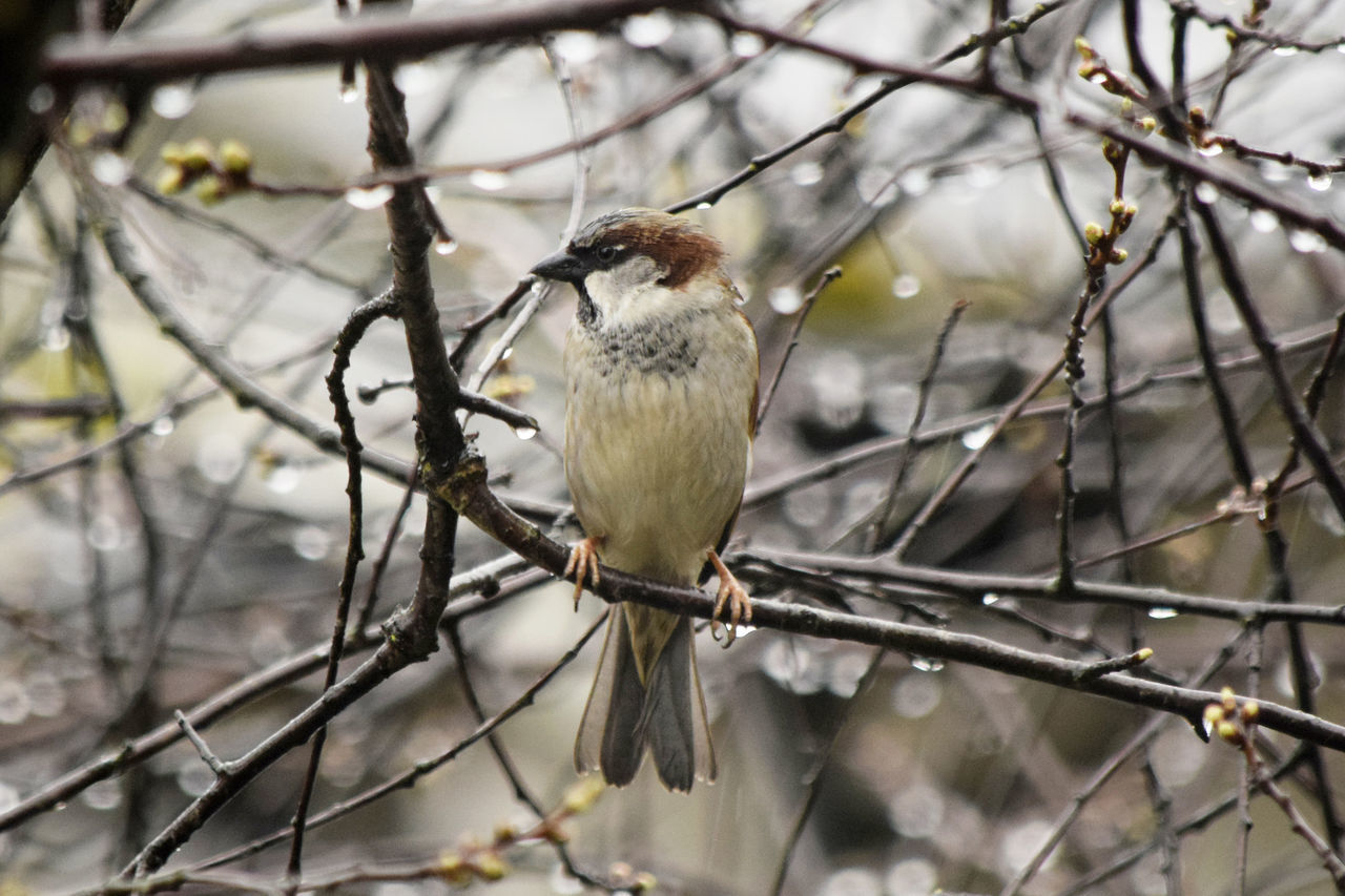 Sparrow on a rainy day Animal Themes Animal Wildlife Animals In The Wild Bare Tree Bird Branch Close-up Day Dried Plant Nature No People One Animal Outdoors Perching Sparrow Sparrow Bird Sparrow On A Branch Sparrows Tree