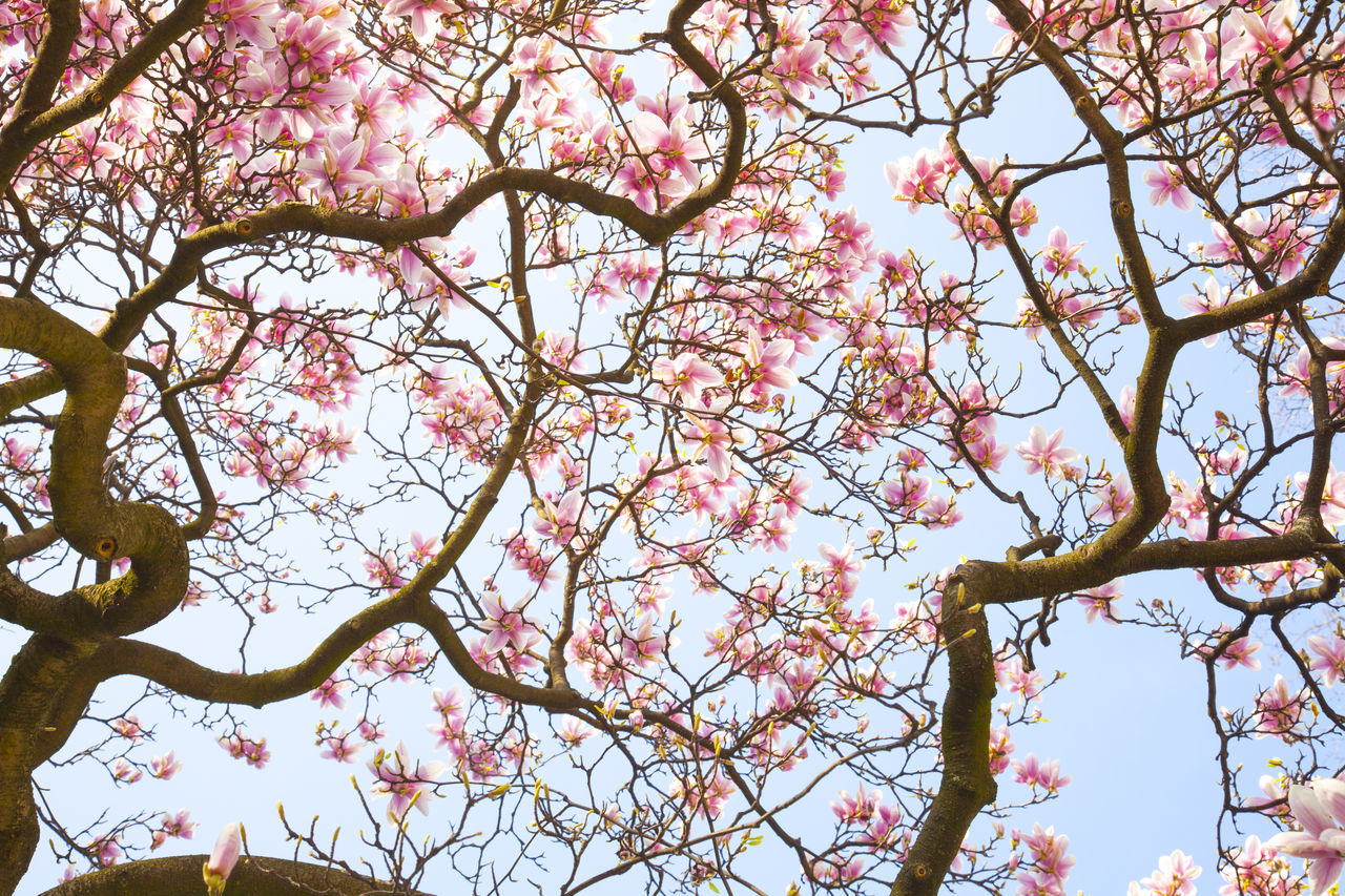 Beautiful stock photos of magnolie, Beauty In Nature, Branch, Cherry Tree, Clear Sky
