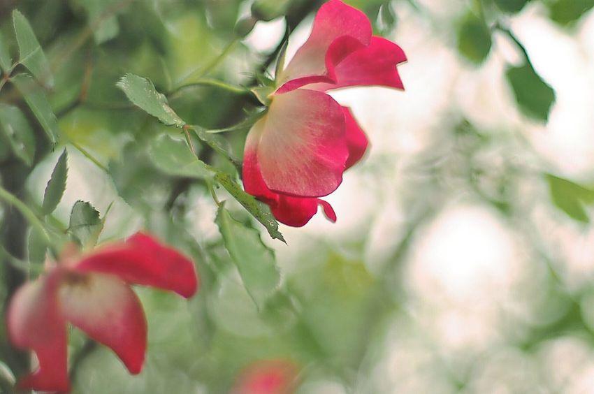 Flowers Flower Flower Collection Flowerporn EyeEm Nature Lover Roses Light And Shadow EyeEm Best Shots EyeEm Gallery EyeEmBestPics Eye4photography  …ん10年前に母にプレゼントしたバラが、今年もたくさんの花をつけたよ。そして、今年もまた仲間が増えました。