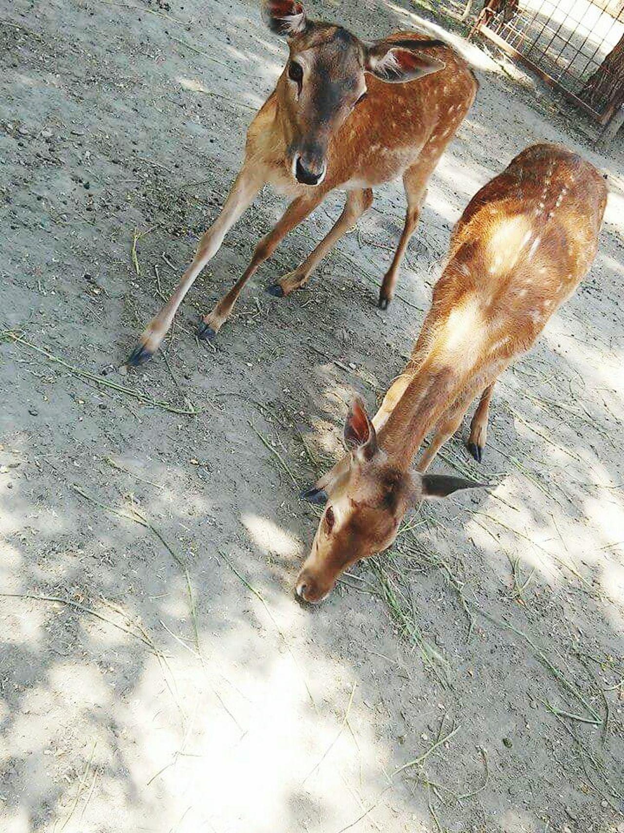 Deers Deer Brown Two Animals Animal Brown Whitedots