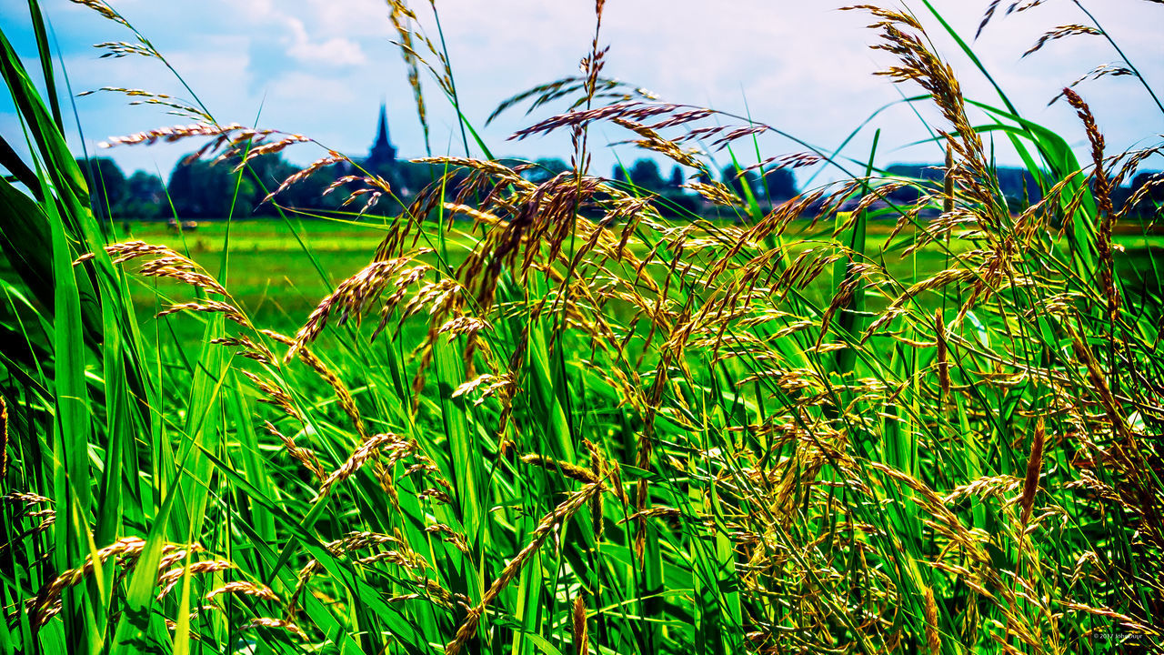 Church tower seen thru the grass on a summer day 't Woudt Agriculture Beauty In Nature Church Tower Day Field Grass Grass Green Color Growth Nature No People Outdoors Plant Sky Tranquility