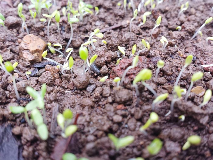 Sweet william seedlings 😍 Growth Plant Nature New Life Seedling Fragility Leaf Field Sapling Freshness No People Beginnings Outdoors Day Close-up I Grew This Organic Growing Greenthumbs Gardening Spring Dahlia Flowers Seedlings Spring Growth Nature Plant