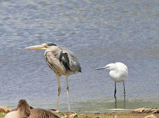 Heron And Little Egret Taking Photos Wildlife Photography Wildlife & Nature Canon7dMK2 Wildlife