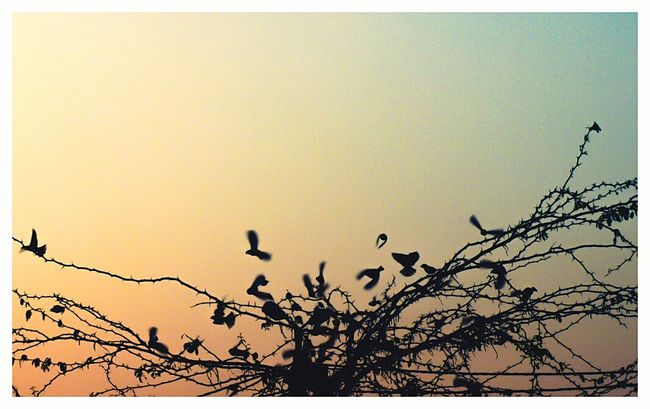 Silhouette Scenics Flying Beauty In Nature Birds Of EyeEm  Birds Flying Freedom Freedom Of Expression Freed Sunset_collection Sunset Silhouettes Dusk In The City Back To Home Auto Post Production Filter Transfer Print Silhouette Copy Space Branch Clear Sky Tree Low Angle View Growth Nature Beauty In Nature Scenics