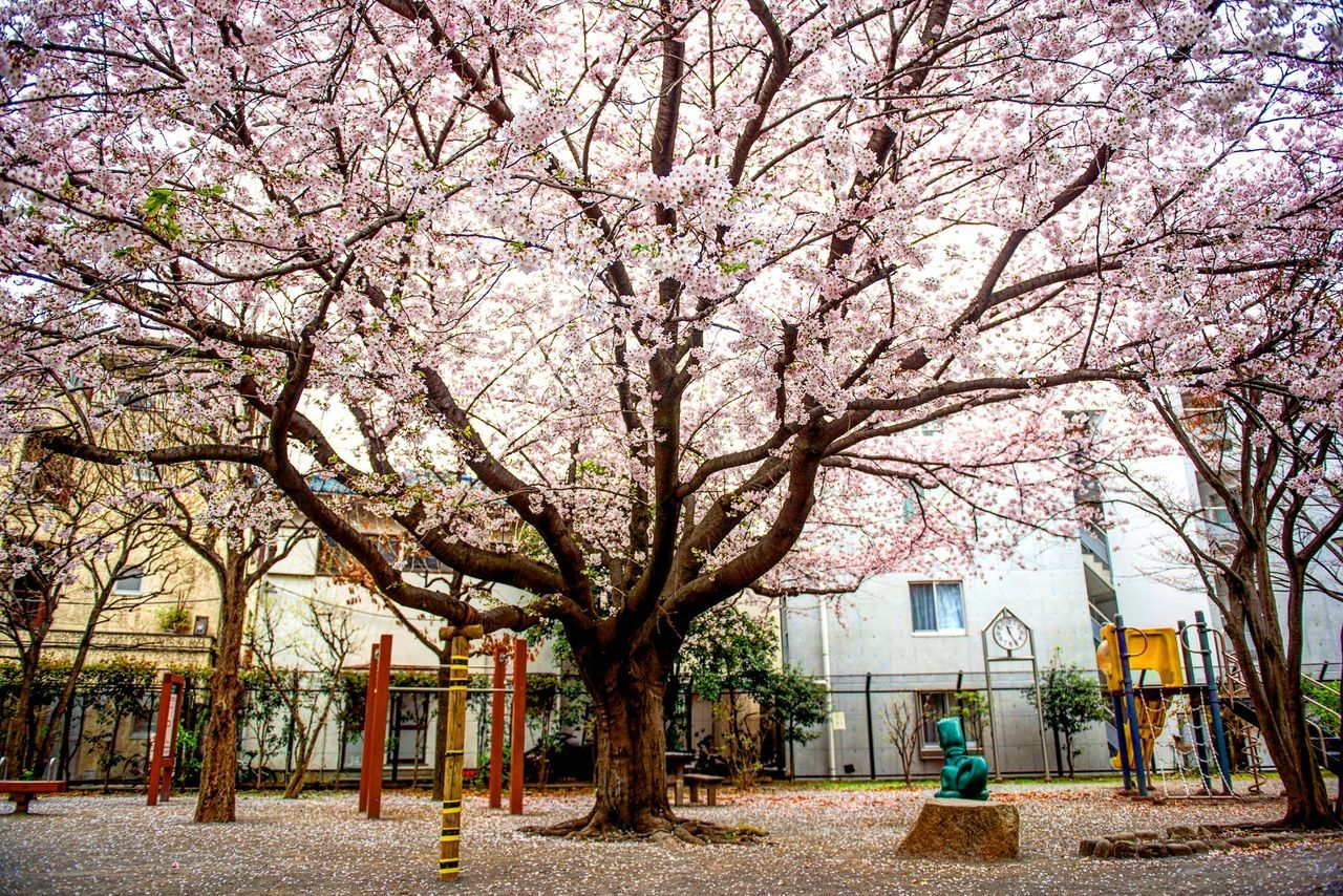 Japanese playground. Tree Outdoors Nature Branch City Day Sky Japan Playground Cherry Blossoms Largetrees Pedals Pink Beaitiful Tokyo Tokyo Street Photography Tokyo Days Sakura2016 Sakura