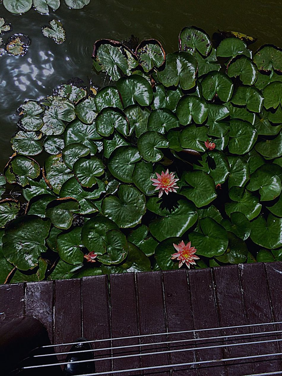 Lotus Flower Pond Outdoor Nature