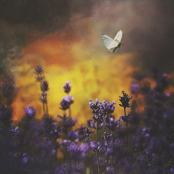 Flowers Kwiaty Rubinar Krakow,Poland Butterfly Lavender