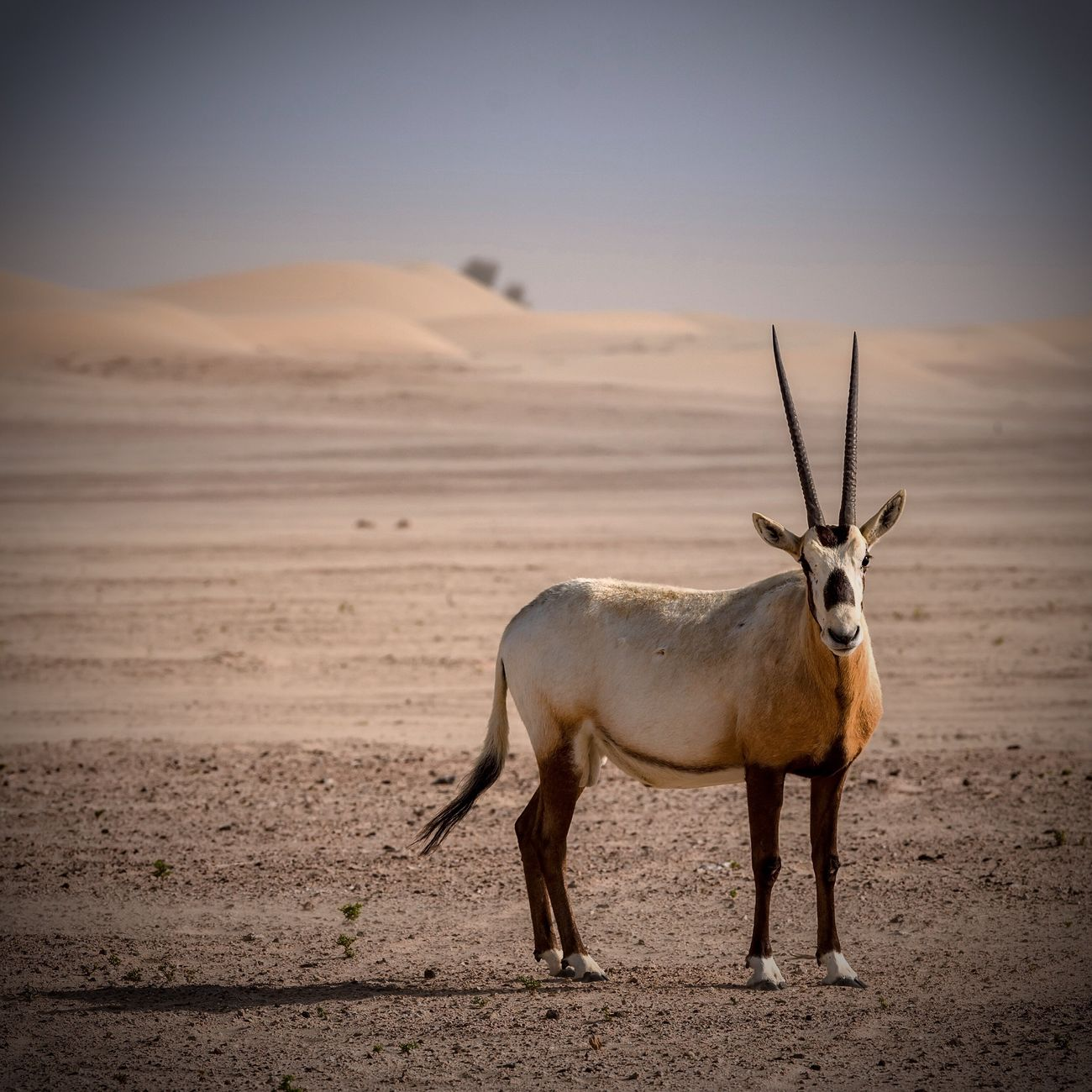 Wild Arabian Oryx seen in the Desert of Dubai United Arab Emirates Animal Themes One Animal Mammal Animals In The Wild Nature No People Animal Wildlife Wwf Oryx Antelope Gazelle Pet Outdoors Day Beauty In Nature