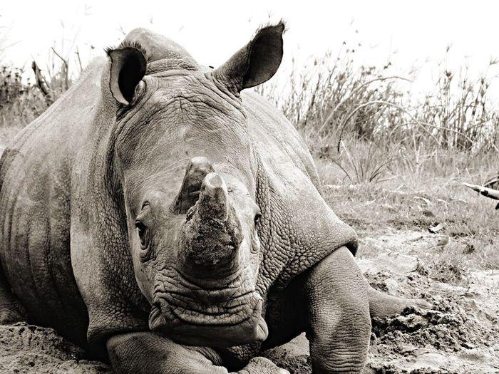Shades Of Grey Rino Wildlife Animals Africa Travels
