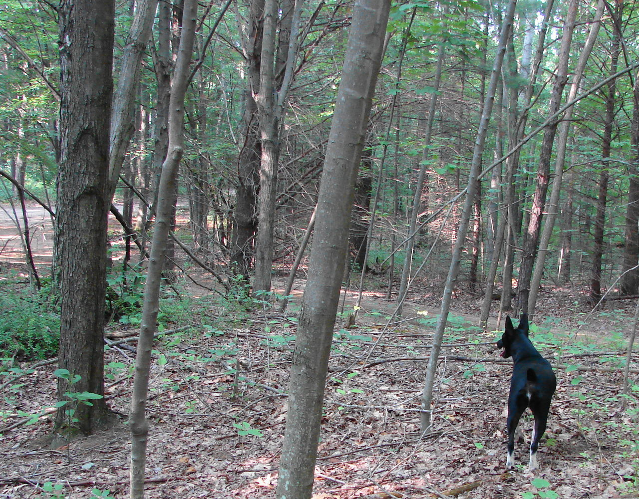 Dog Standing Amidst Trees In Forest