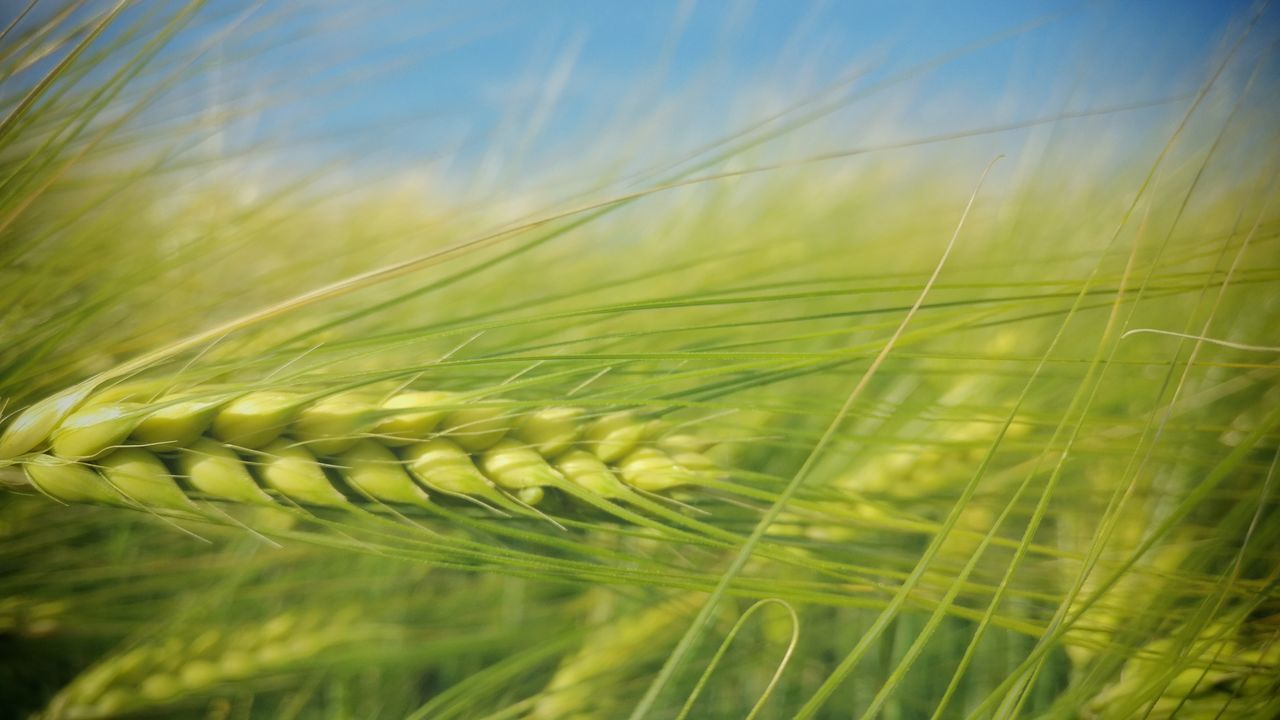 Nature Cereal Plant Close-up Plant Crop  Agriculture Wheat Beauty In Nature Outdoors Onepluslife Oneplusphotography Oneplusphotowalk Shotononeplus First Eyeem Photo Live For The Story