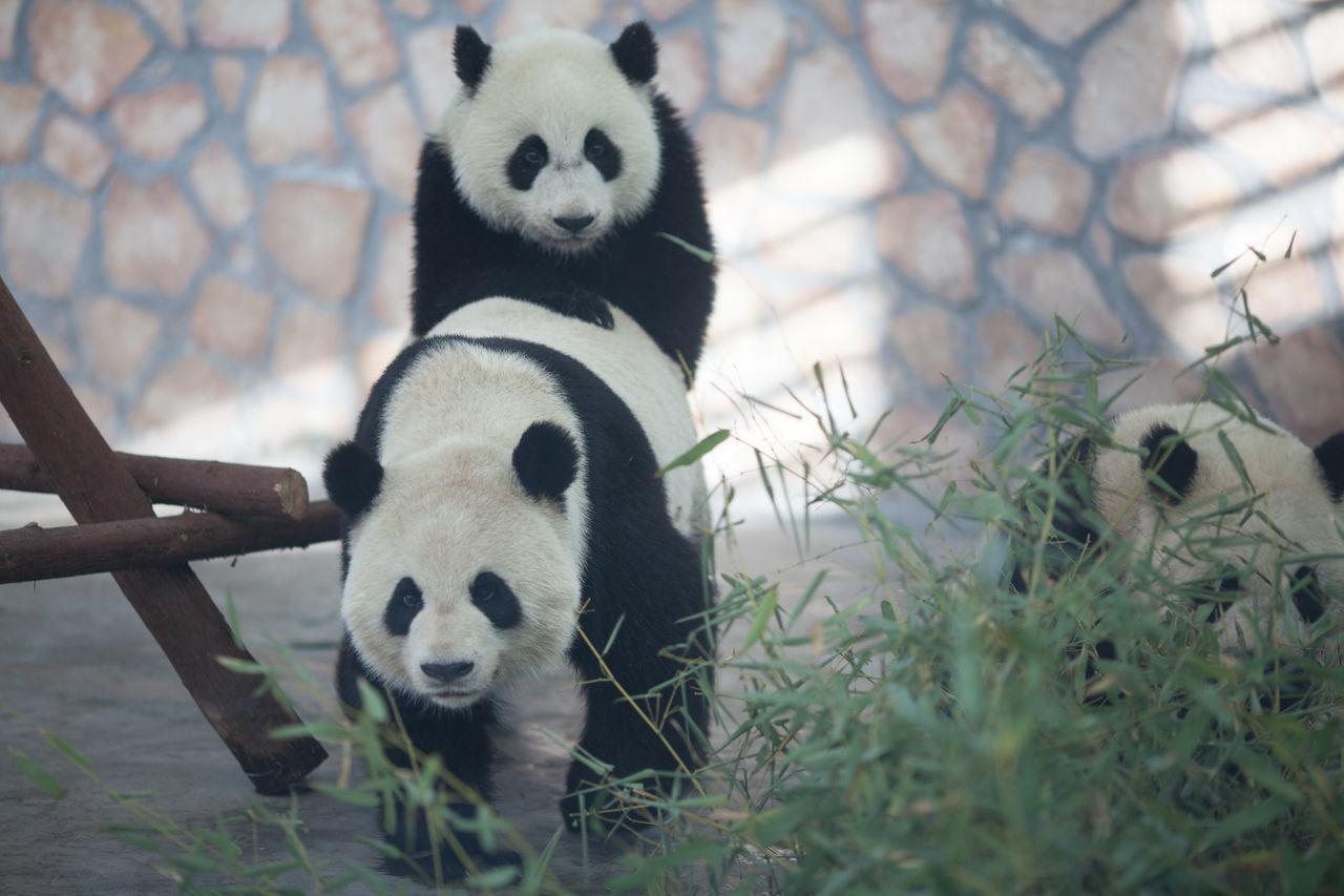 Beautiful stock photos of panda, Animal Behavior, Animal Themes, Animals In The Wild, Animals Mating