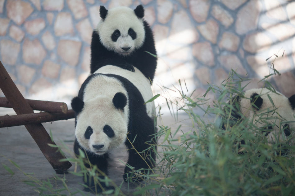Beautiful stock photos of panda, Animal Behavior, Animal Themes, Animals In The Wild, Animals Mating