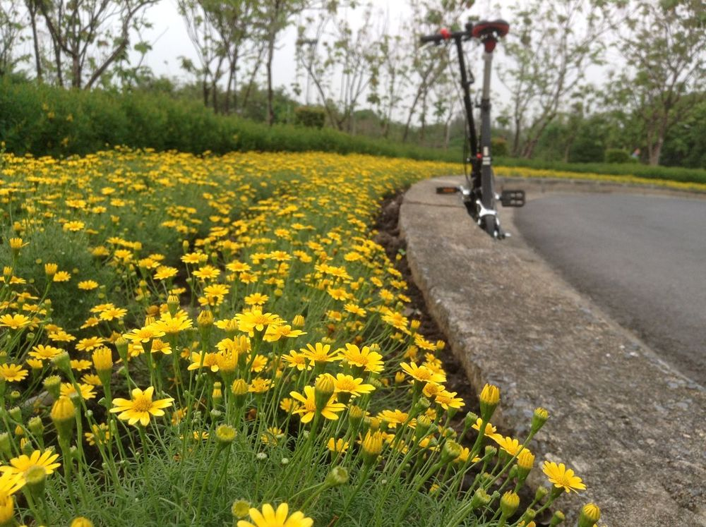 Beauty In Nature Blooming Blossom Day Field Flower Flower Head Fragility Freshness Grass Green Color Growth In Bloom Land Vehicle Landscape Mode Of Transport Nature No People Outdoors Petal Plant The Way Forward Tranquility Yellow