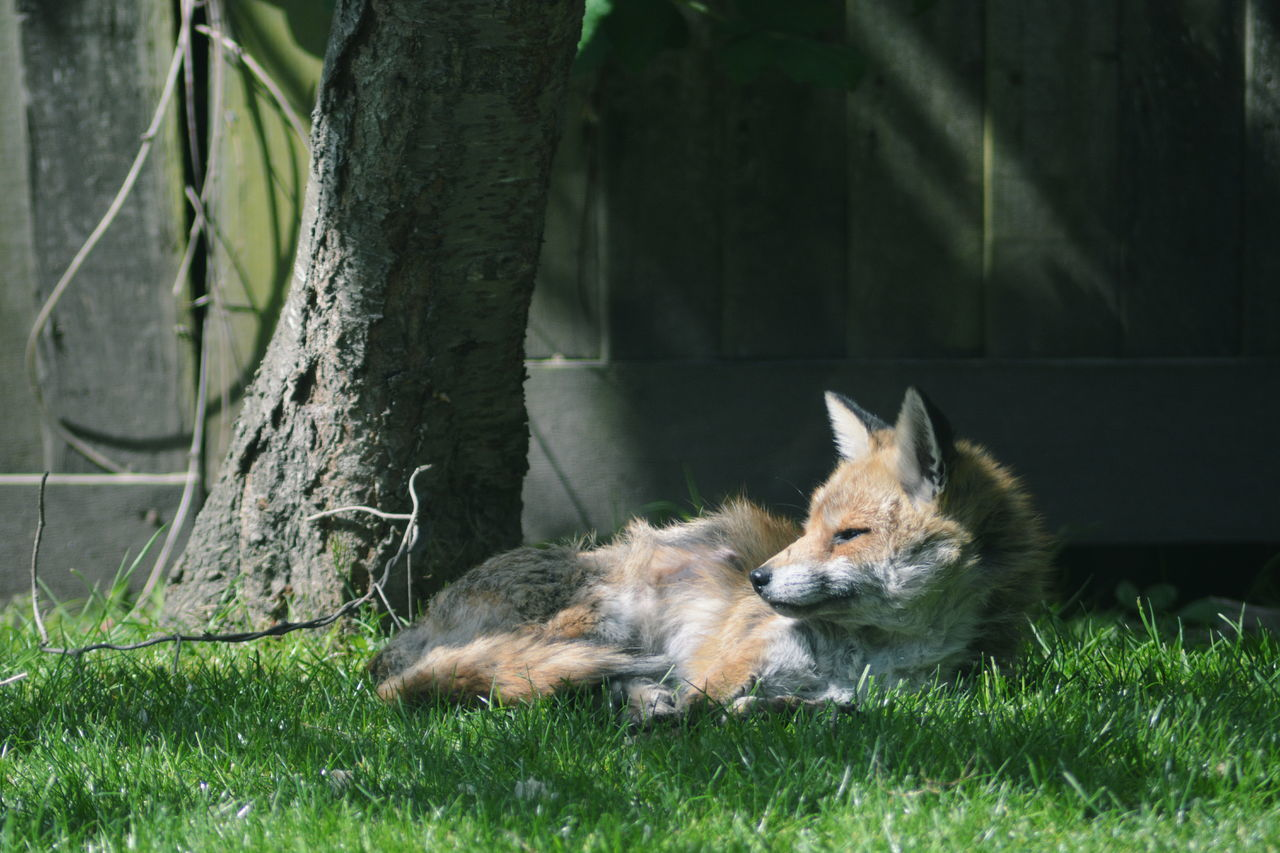 Animal Themes Close-up Day Domestic Animals Fox Garden Grass Mammal Nature No People One Animal Outdoors Pets Relaxation Wild Animal